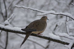 Snowy Branch Dove Royalty Free Stock Photos