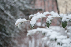 Snowy branch in a garden Royalty Free Stock Images