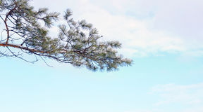 Snowy branch of pine tree against blue sky Stock Photos