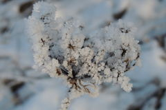 Snowy branch plants in winter in a park close-up Royalty Free Stock Image