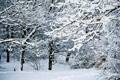 Snowy branch of tree in forest in dusk Royalty Free Stock Image