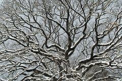 Snowy branches Royalty Free Stock Photos