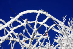 Snowy branches Royalty Free Stock Images