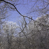 Snowy branches on blue sky. Winter generic background Stock Photo