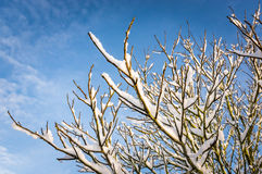Snowy branches on a calm winter day. Against a background of blue sky and wispy clouds Royalty Free Stock Photos
