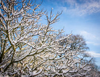 Snowy branches on a calm winter day. Against a background of blue sky and wispy clouds Stock Photo