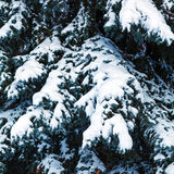 Snowy Branches of Christmas Pine Tree Royalty Free Stock Image