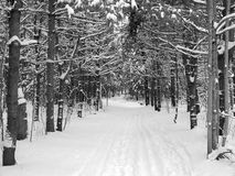 Snowy branches over a ski trail. Black and white image of snowy branches over a ski trail Stock Image