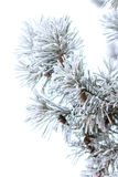 Snowy branches of pine tree isolated on white background Stock Photography