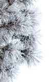 Snowy branches of pine tree isolated on white background Royalty Free Stock Photo
