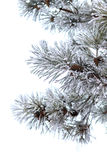 Snowy branches of pine tree isolated on white background Royalty Free Stock Photos