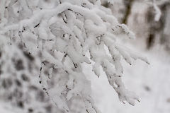 Snowy Branches Stock Photography