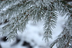 Snowy branches spruce, close up Stock Photo