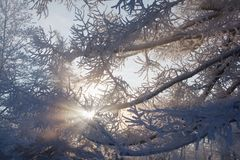 Snowy branches and sunlight Stock Photography