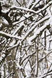 Snowy branches. Twigs in winter. Nature in winter Stock Photos