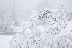 Snowy branches on white background. Winter patterns on cold plants.  Stock Photography