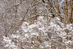 Snowy branches winter background. A late-winter snow leaves a cottony effect on tree and shrub branches royalty free stock images