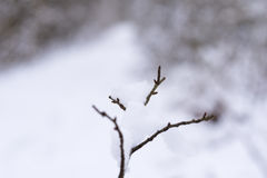 Snowy branches in winter. frozen nature. Winter Stock Image