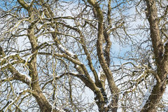 Snowy Branches. Winter Tree. Nature in winter. Winter Royalty Free Stock Photography