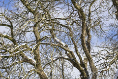 Snowy Branches. Winter Trees. Trees in Winter. Nature in Winter Stock Photos