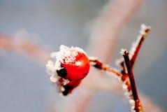 Snowy briar Royalty Free Stock Photo