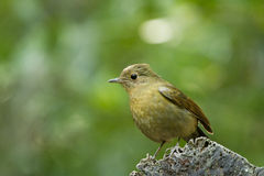 Snowy-browed flycatcher Royalty Free Stock Photo