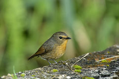 Snowy Browed Flycatcher - Female Stock Photography
