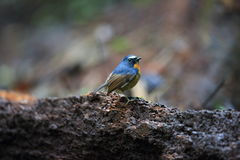 Snowy-browed flycatcher Royalty Free Stock Image