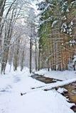 Snowy-Buche und Kiefernwald im Spätwinter, Nationalpark Sila, Kalabrien, Süd-Italien Lizenzfreie Stockbilder