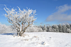 Snowy bush. A bush covered with snow on a lawn after a snowfall Royalty Free Stock Images
