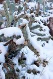 Snowy Cactus - Rare Arizona Storm Stock Photography