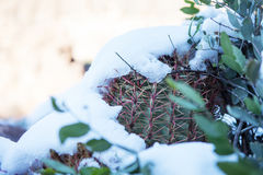 Snowy Cactus - Rare Arizona Storm Royalty Free Stock Photography
