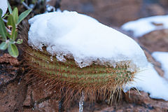 Snowy Cactus - Rare Arizona Storm Stock Images