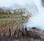 Snowy Cactus - Rare Arizona Storm Royalty Free Stock Photo