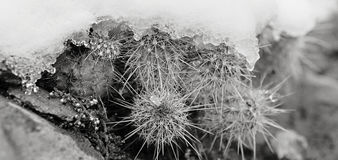 Snowy Cactus - Rare Arizona Storm Stock Photography