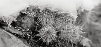 Snowy Cactus - Rare Arizona Storm Royalty Free Stock Photos