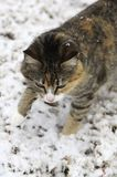 Snowy Calico Cat Stock Photography