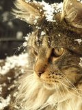 Snowflakes on cat Royalty Free Stock Photo