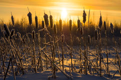 Snowy cattails at sunset. Stock Photos