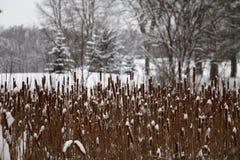 Snowy-Cattails in Theodore Wirth Park, Minneapolis Lizenzfreies Stockbild