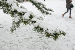 Snowy cedar branch in urban park Stock Images