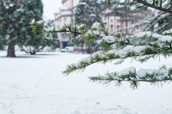 Snowy cedar branch in urban park Royalty Free Stock Images
