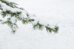 Snowy cedar branch in urban park Royalty Free Stock Photos
