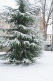 snowy cedar tree in urban park Stock Photos