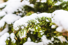 Snowy Christmas tree. Detail of a fir under the snow Stock Images