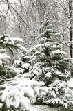 Snowy christmas tree in forest. Winter nature Stock Image