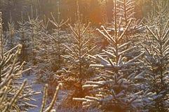 Snowy christmas trees stock photos