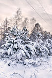 Snowy christmas trees Royalty Free Stock Photography