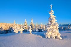 Snowy Christmas trees stand on the lawn under the sun. The high mountains are covered with snow. A beautiful winter day. royalty free stock photography