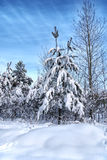 Snowy christmas trees and white forest Royalty Free Stock Image